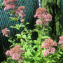 Little Joe Pye Weed
