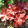 Heuchera_forever_red