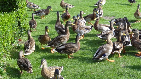 We fed the  Ducks this morning in the River Gardens.