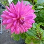 Shocking pink Dahlia