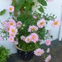 Pale pink Asters