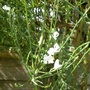 Cytisus alba (Cytisus multiflorus (White Spanish Broom))