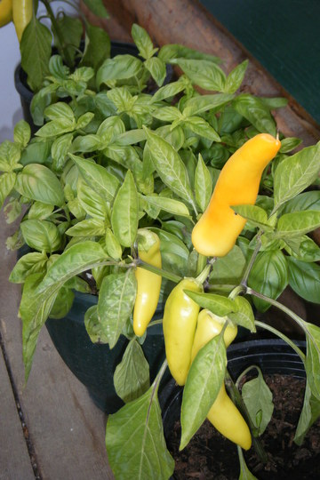Pepper and Basil (Capsicum annuum (Sweet pepper))