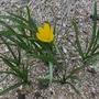 Sternbergia sicula - 2019 (Sternbergia sicula)