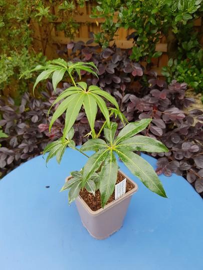 Schefflera Taiwaniana.... (Schefflera arboricola (Australian Umbrella Tree))