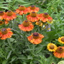 Helenium. Short and Sassy (Helenium. Short and Sassy)