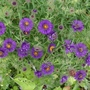 Aster novae-angliae 'Violetta' - 2019 (Aster novae-angliae)