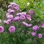 Aster novae-angliae 'Harrington's Pink' - 2019' (Aster novae-angliae)