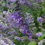 Salvia 'Amistad' - 2019 (Salvia)