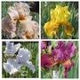 Another 4 Remontant Iris (Iris)