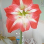Amaryllis flowering on living room table 5th September 2019 001 (Amaryllis)
