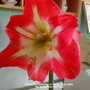 Amaryllis flowering on living room table 5th September 2019 002 (Amaryllis)