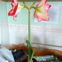 Amaryllis flowering on living room table 5th September 2019 003 (Amaryllis)