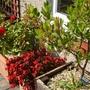 Begonia, rose and Arbutus..a trio of reds