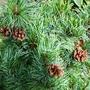 Pine cones on Bonnie Bergman