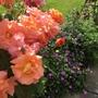 Climbing Rose 'Sunrise' With hardy Geranium 'Blushing Turtle'