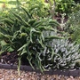 Hosta 'Praying Hands' makes a great partner for white Heather