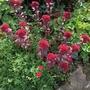 Definitely my favourite sedum...Red Cauli. Its spectacular! (Sedum.)
