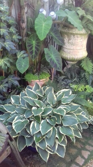 already Octobrer (Hosta &Colocasia)