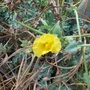 Yellow Horned Poppy