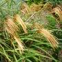 Miscanthus_sinensis_malepartus
