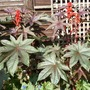 Ricinus_communus_2_sept_19