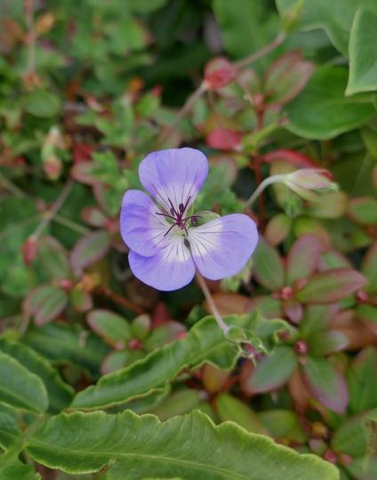 Geranium wallichianum 'Buxton's Variety' - 2019
