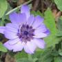 Catanache caerulea Blue (Catanache caerulea)