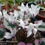 Hardy cyclamen name on photo