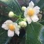 Clusia rosea - Flowering (Clusia rosea)