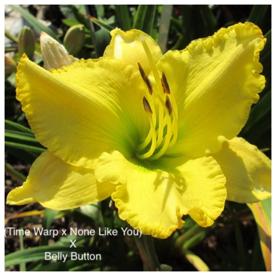 Hemerocallis (Time Warp X None like you)X Belly Button2 (July) (Hemerocallis)