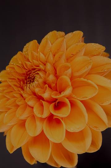 Orange Dahlia 1 (dahlia pompone)