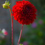 Berry_pimpernel_dahlia_2_1_of_1_