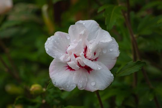 hibiscus (Hibiscus syriacus (Gurhul))