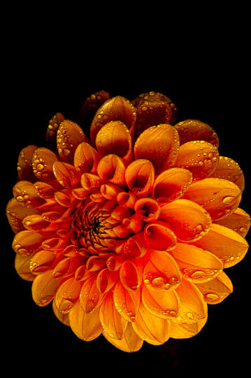 orange dahlia with water drops (dahlia pompone)