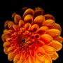 Orange_dahlia_with_water_drops_1_of_1_