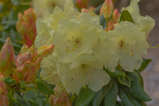 yellow rhododendron (rhododendron)