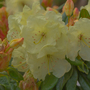 Yellow_rododendrum