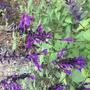 Salvia 'Amistad' (Salvia)