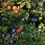 Patio Rose 'Wildfire' contrasts with Geranium 'Havana Blues'