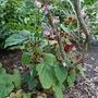 Begonia grandis subsp evansiana - 2019 (Begonia grandis)