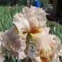 Tall Bearded Iris AL 19A7 (For my File) (Iris germanica (Orris))
