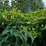 Humulus lupulus 'Aureus' - 2019 (Humulus lupulus 'Aureus')