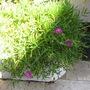 Delosperma cooperi (Hardy Ice Plant) (Delosperma cooperi (Hardy Ice Plant))