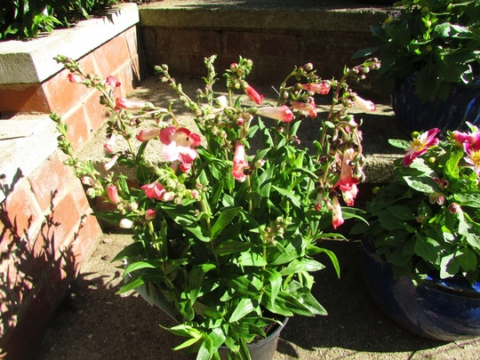 Penstemon 'Picotee Red' newest plant