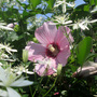 Rose of Sharon & Sweet Autumn Clematis