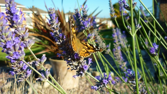 Painted Lady Butterfly on Lavender.