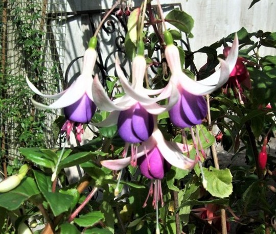 Fuchsia 'Preston Guild'