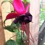 Fuchsia 'Blackie'