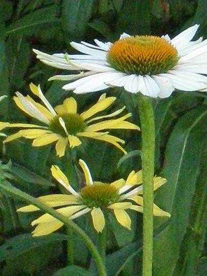Echinacea pupurea & E. paradoxa (Echinacea paradoxa (Bushs Coneflower))